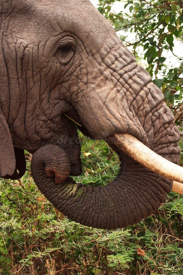kraterelefantngorongoro fotografering för bildbyråer