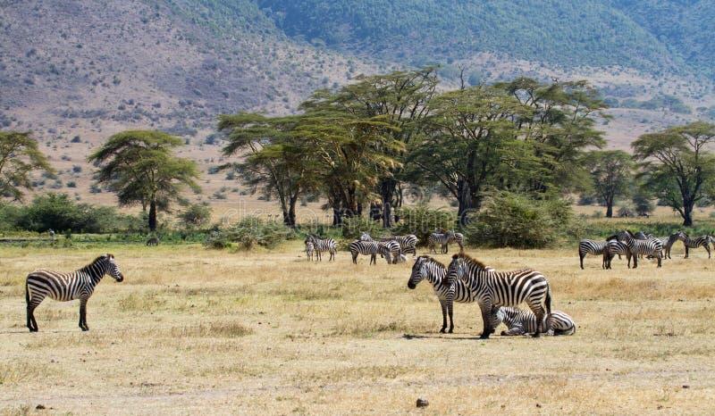 krateru stada ngorongoro zebra obraz royalty free