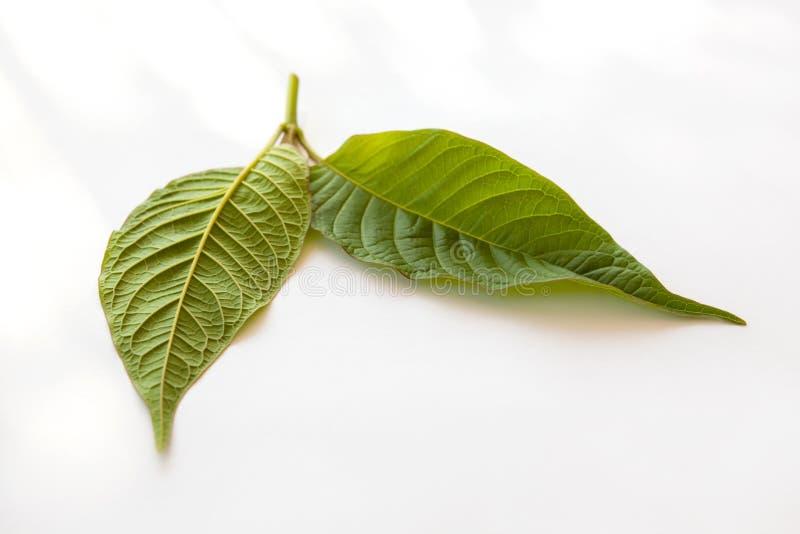 Kratom-Blätter auf Weiß lizenzfreie stockfotografie