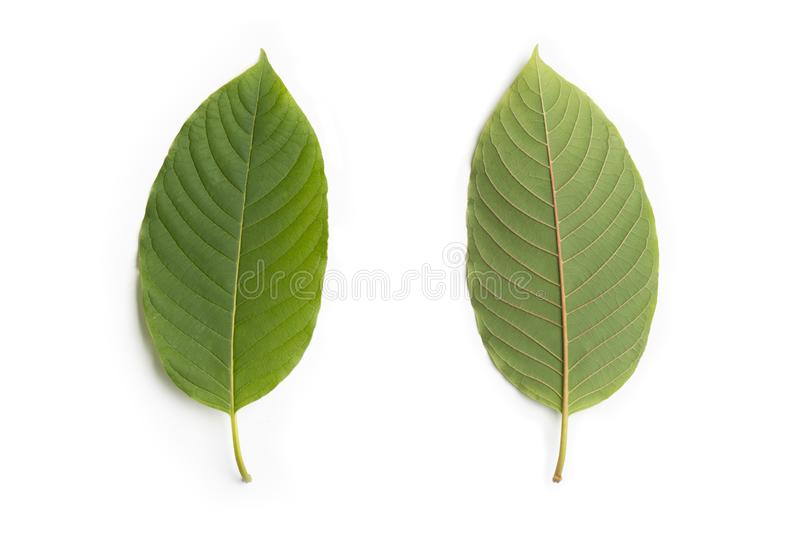 Kratom leaf Mitragyna speciosa Mitragynine  is drug from plant. It is a medicinal plant and is addictive on white background ,.  royalty free stock photos