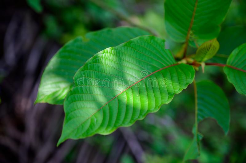 Kratom Mitragyna speciosa green Is a type of drug royalty free stock images