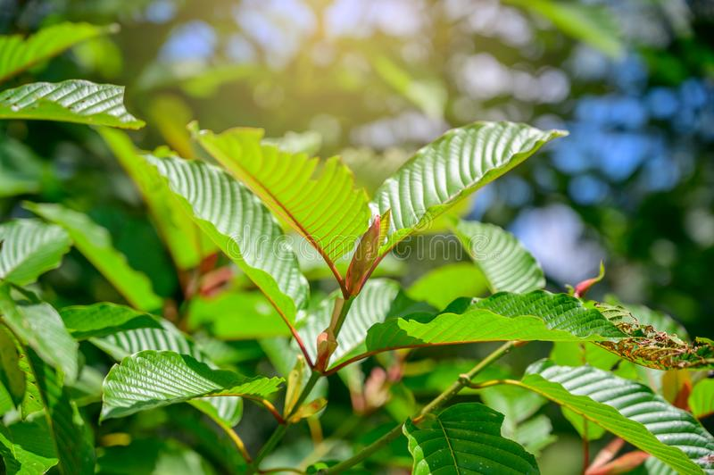 Kratom Mitragyna speciosa green Is a type of drug stock photos