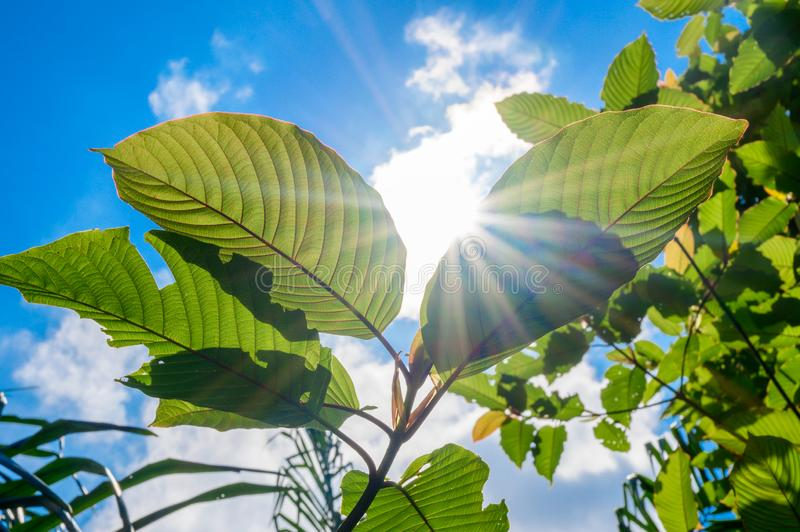 Kratom Mitragyna speciosa green Is a type of drug stock images