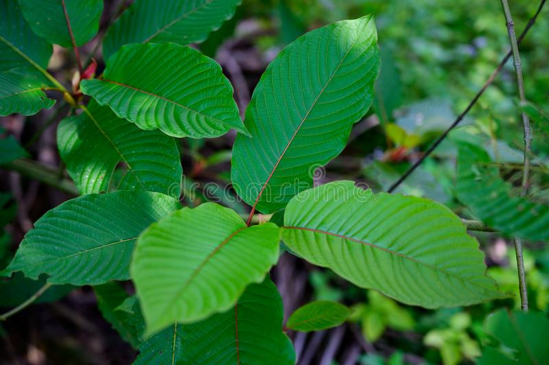 Kratom Mitragyna speciosa green Is a type of drug. Kratom Mitragyna speciosa  green Is a type of drug royalty free stock images