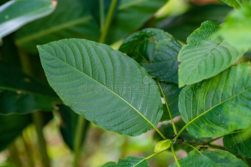 Kratom Mitragyna speciosa green Is a type of drug. Kratom Mitragyna speciosa  green Is a type of drug stock photography