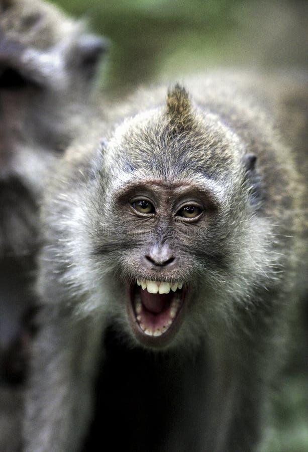Kratzen Sie, Makaken Macaca fascicularis essend, die Gesichtsangriff zeigen lizenzfreies stockbild