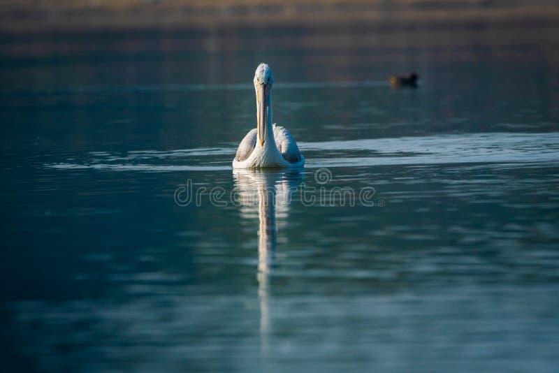 Krauskopfpelikanporträt in der blauen Stunde des frühen Morgens im Seewasser und in fangenden Fischen an Nationalpark Keoladeo, b lizenzfreie stockbilder