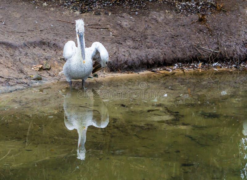 Krauskopfpelikanstellung an der Wasserseite, nahe bedrohtem Vogel von Europa lizenzfreie stockfotografie