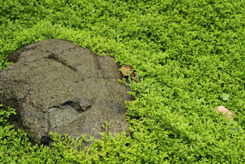 Kraussiana de Selaginella dans le jardin photo stock