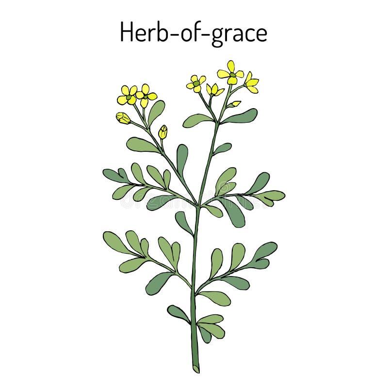 Kraut-von-Anmut Ruta graveolens oder allgemeine Rue, Heilpflanze stock abbildung