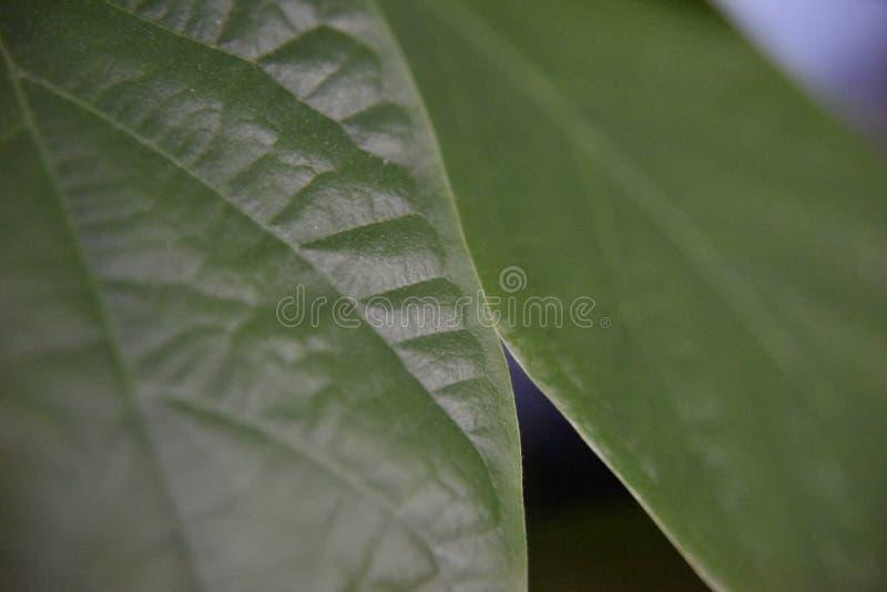 Krawędź avocado liść zdjęcie stock