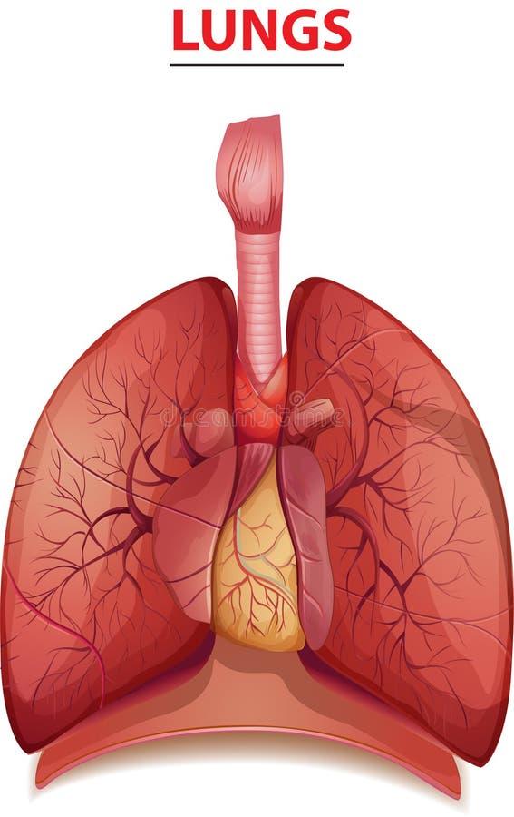Kreatywnie ciało ludzkie projekt pracuje w płucach ilustracji
