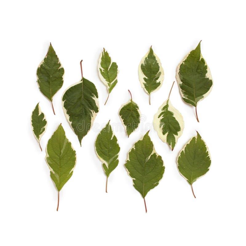 Kreatywnie przygotowania dereń zieleń opuszcza & x28; cornus alba& x29; fotografia royalty free