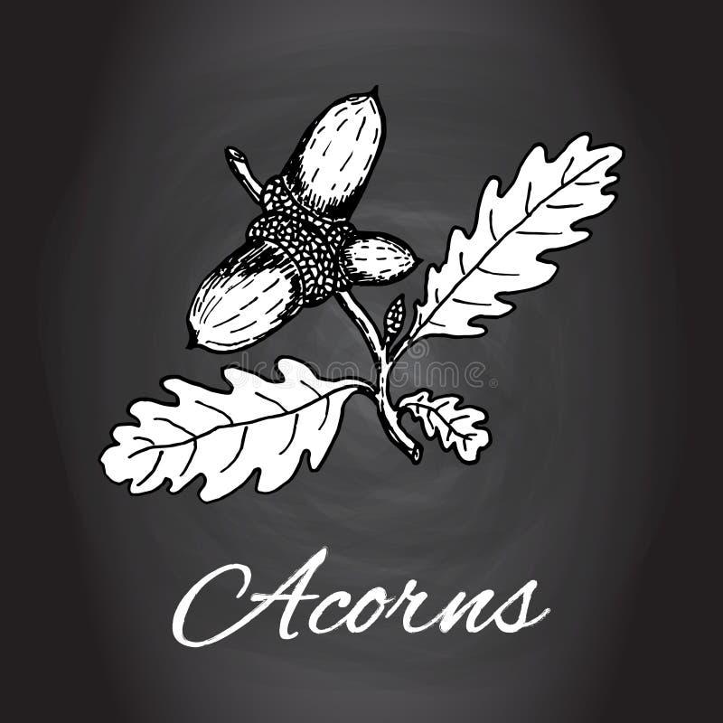 Kreda rysujący acorns wektorowy dąb opuszcza na dąb gałąź i acorn ilustracja wektor