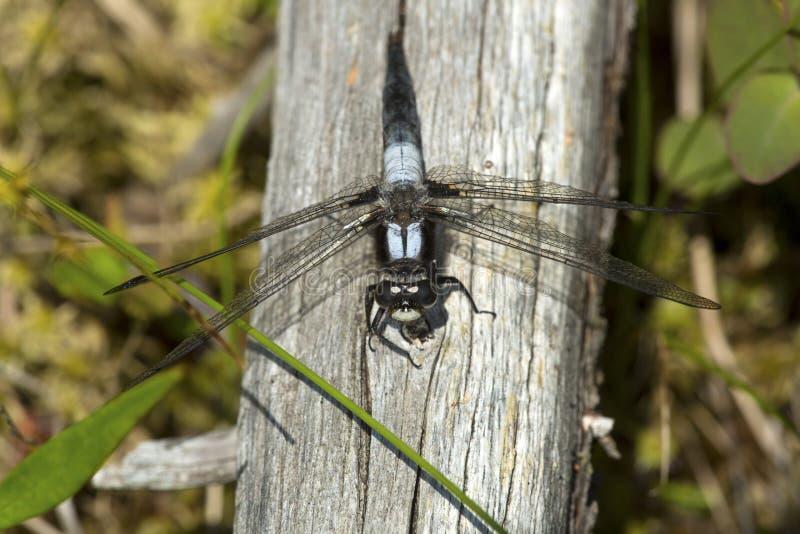 Kreda stać na czele cielesny dragonfly na Mt Sunapee w New Hampshire obrazy royalty free