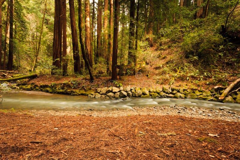 Kreekmeanders door bos van Californische sequoia's in Muir Woods royalty-vrije stock afbeelding