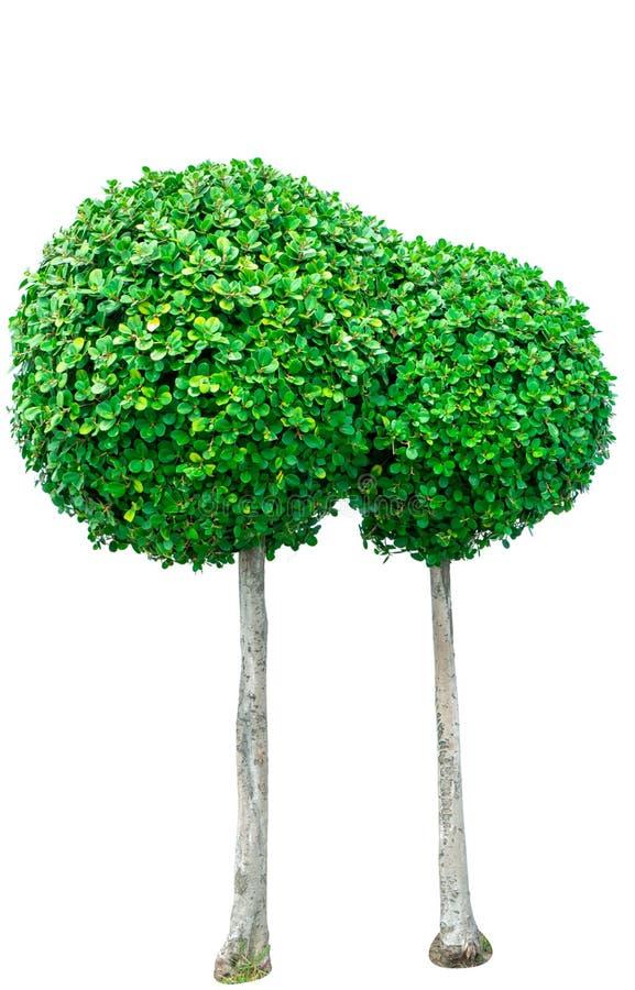 Kreisen Sie den geformten grünen Baum für dekoratives lokalisiert auf weißem Hintergrund ein Gartendekoration mit getrimmtem Busc lizenzfreie stockfotografie