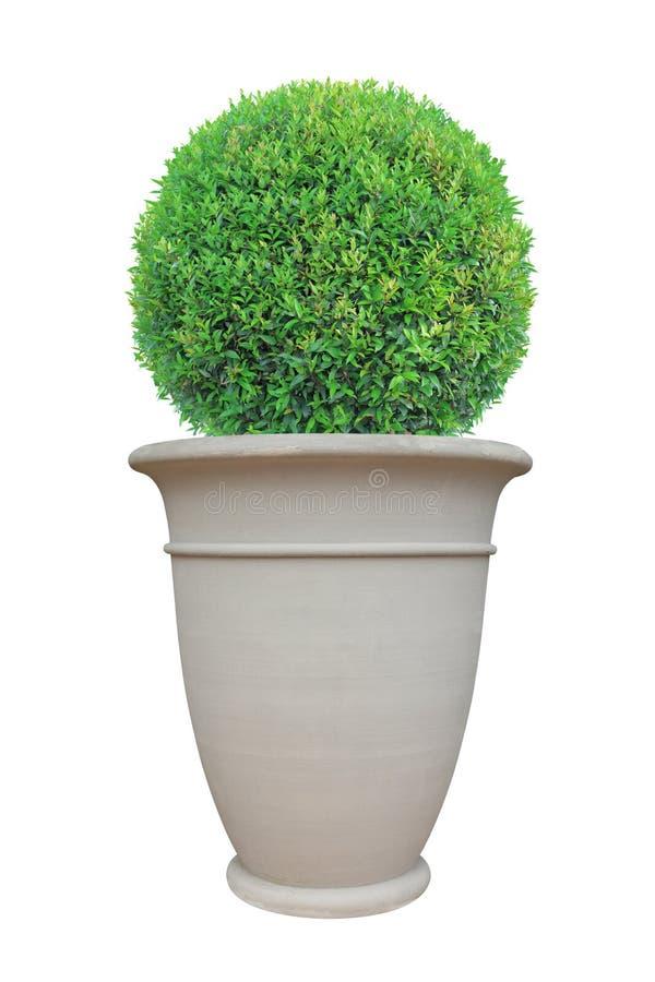 Kreishaubenform Topiarybaum mit dem großen Terrakottatopf der römischen Art lokalisiert auf weißem Hintergrund für japanischen un stockbilder