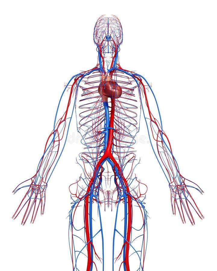 Niedlich Anatomie Und Physiologie Des Herz Kreislauf Systems Ideen ...