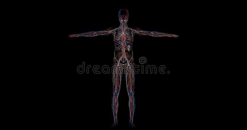 Kreislaufsystem Komplett Von Einem Menschlichen Körper In Der ...