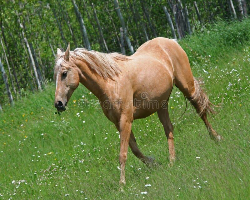 Kremowy barwiony koń w polu zdjęcie stock