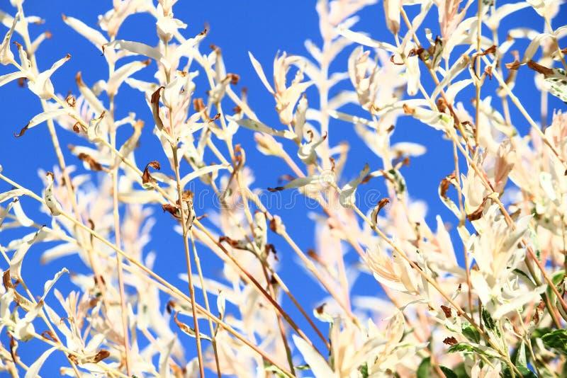 Kremowy i błękitny abstrakcjonistyczny natury tło Niebo pełno i świrzepy światło fotografia royalty free