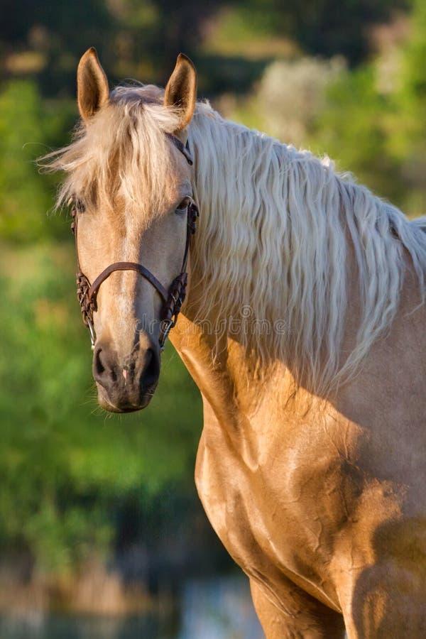 Kremowy koń zdjęcie stock
