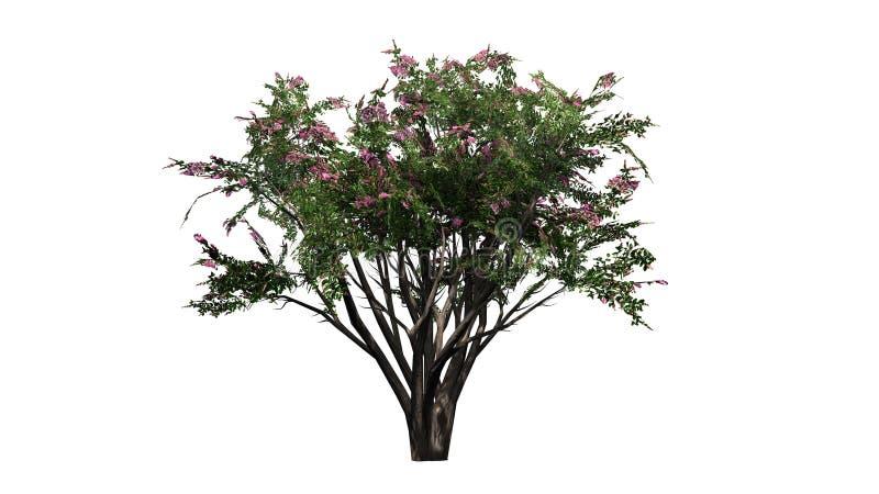 Krepp Myrte mit Blüten stock abbildung