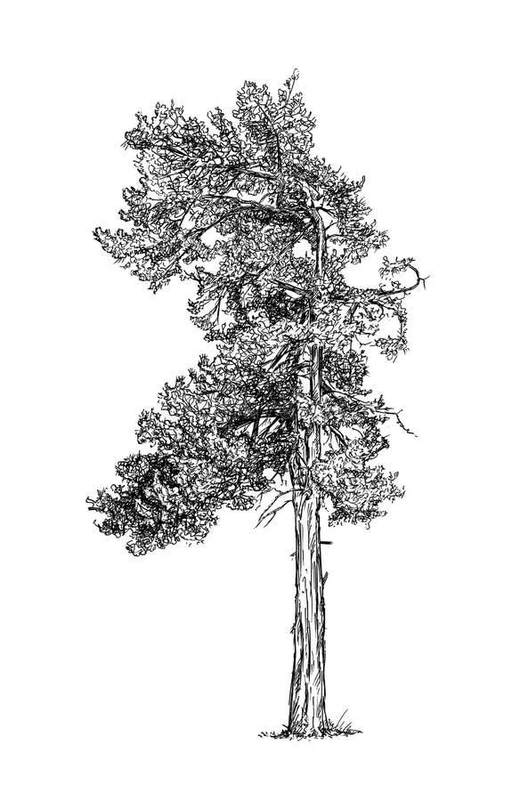 Kreskówka rysunek Sosnowy Conifer drzewo ilustracji
