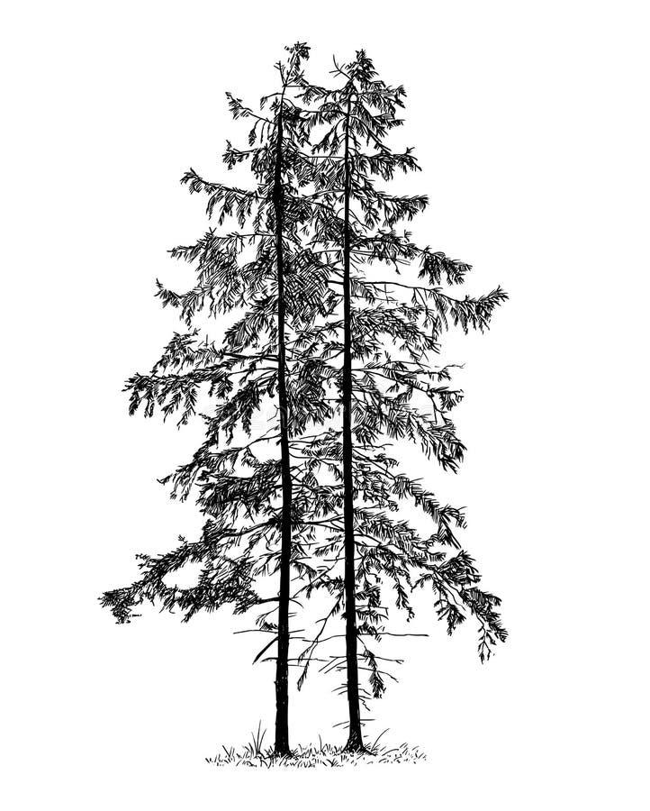 Kreskówka Wektorowy rysunek Świerkowy Conifer drzewo royalty ilustracja