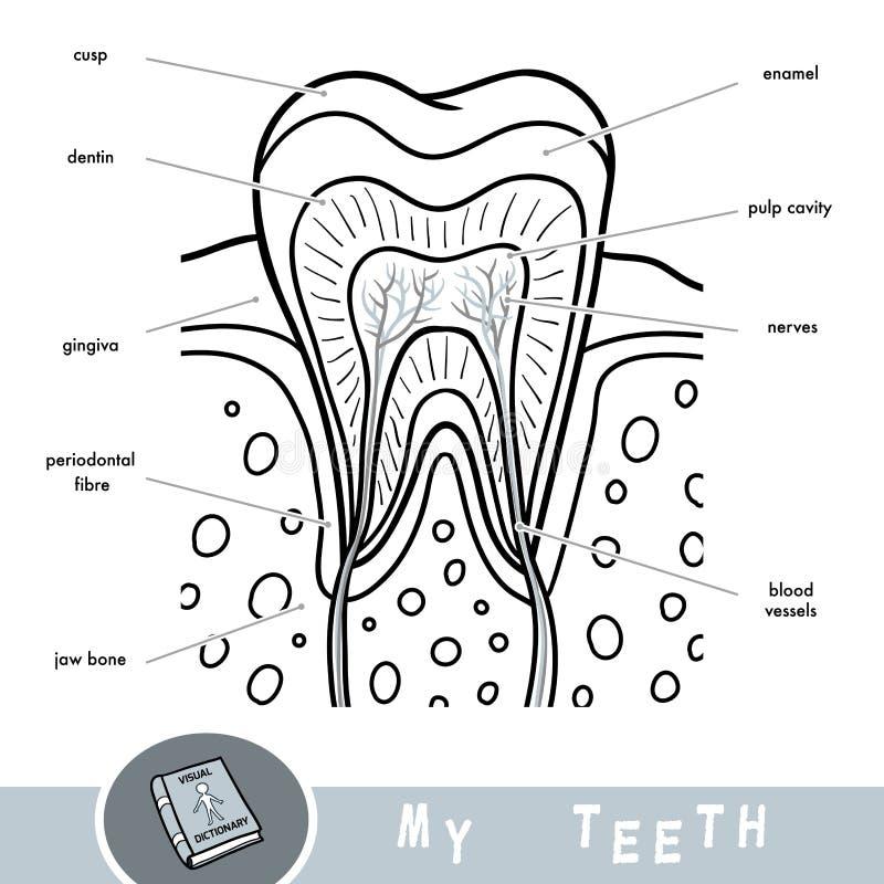 Kreskówka wizualny słownik o zębach Edukacyjny plakat o częściach ząb royalty ilustracja