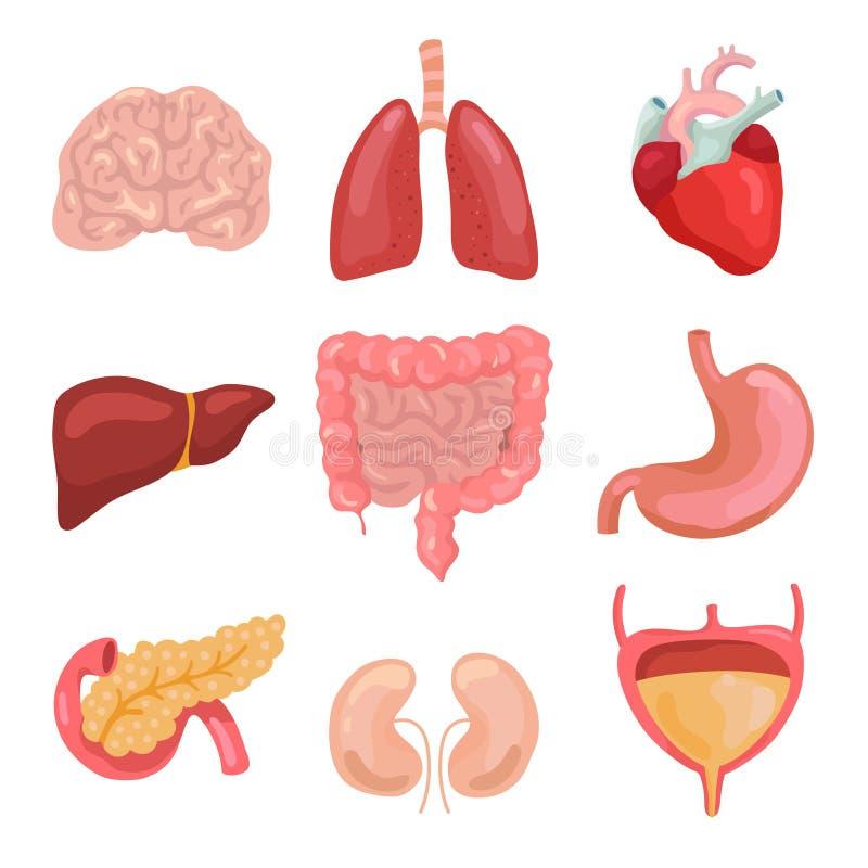 Kreskówki ciała ludzkiego organy Zdrowy trawienny, krążeniowy Organowe anatomii ikony dla medycznego mapa wektoru setu royalty ilustracja