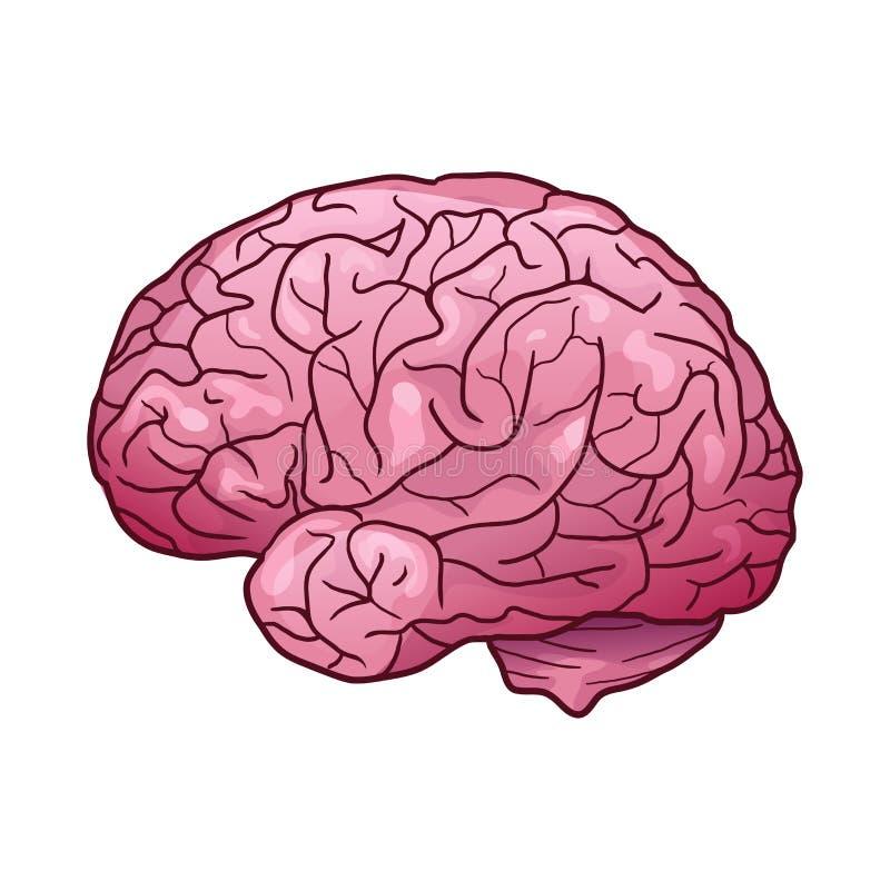 Kreskówki ilustracja ludzki mózg z głównymi atrakcjami i cieniami Boczny widok ilustracji