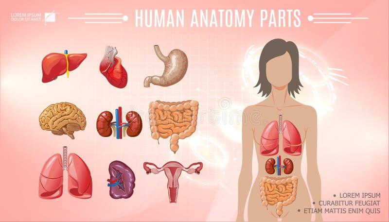 Kreskówki Ludzkiej anatomii Jaskrawy szablon ilustracja wektor