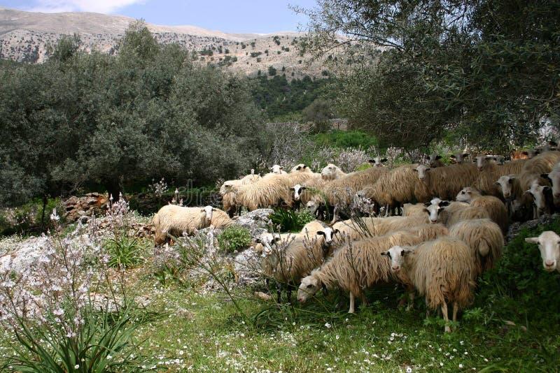 Kreta sheeps in de middag royalty-vrije stock afbeelding