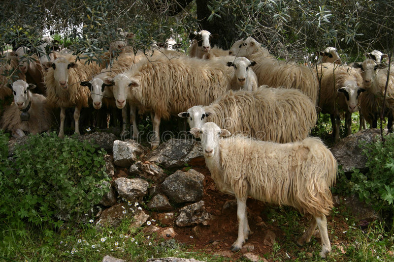 Kreta sheeps im Schatten lizenzfreie stockfotos