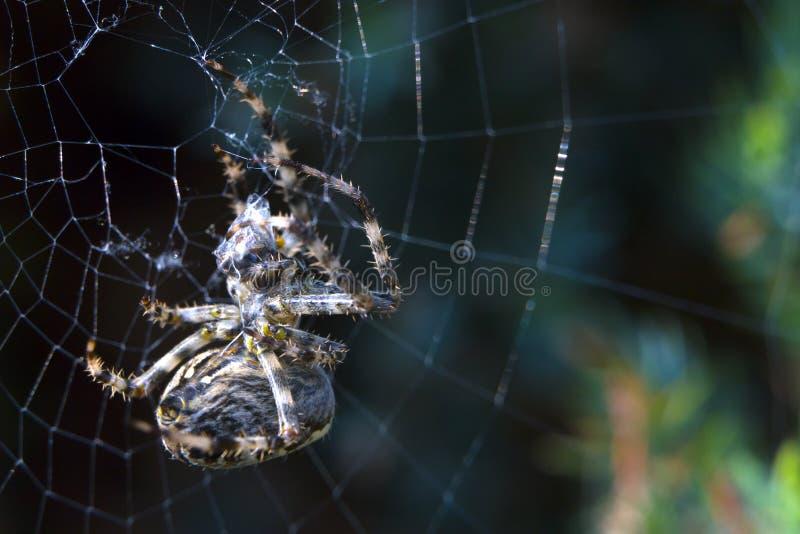Kreuzspinne im nützlichen Insekt Netz Gartens lizenzfreie stockbilder
