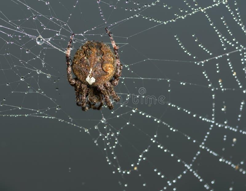 Kreuzspinne sitzt auf seinem Spinnennetz stockfoto