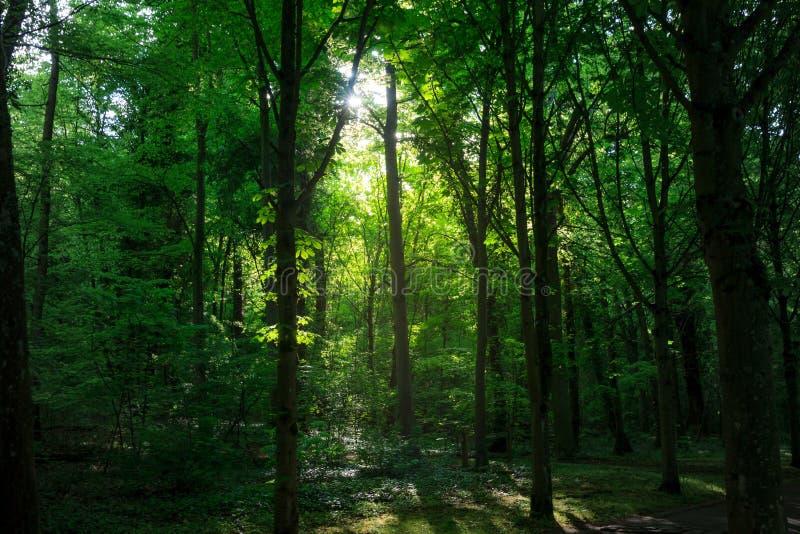 Kreuzungsbäume eines Sonnenstrahls lizenzfreie stockfotografie