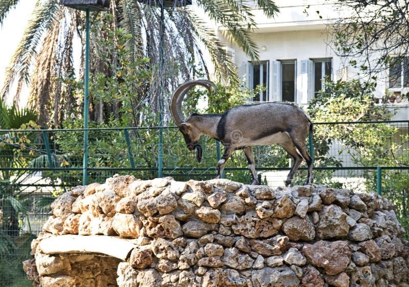 Kri-Kri, Cretan Mountain Goat stock photo