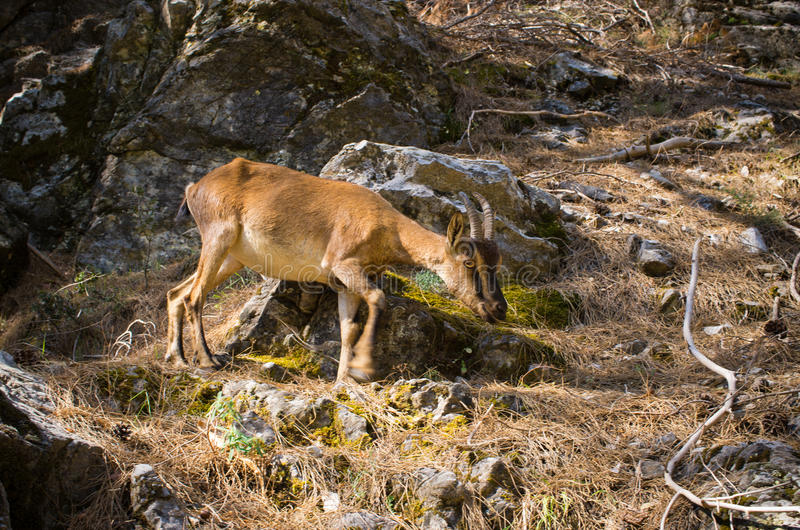 Kri Kri goat in Samaria gorge - Crete, Greece royalty free stock image