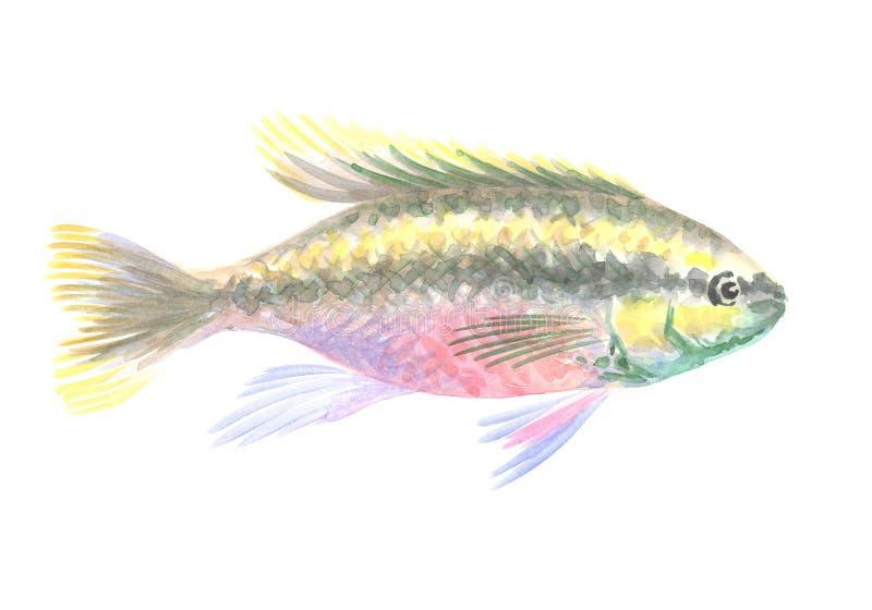 Kribensis丽鱼科鱼 免版税库存照片