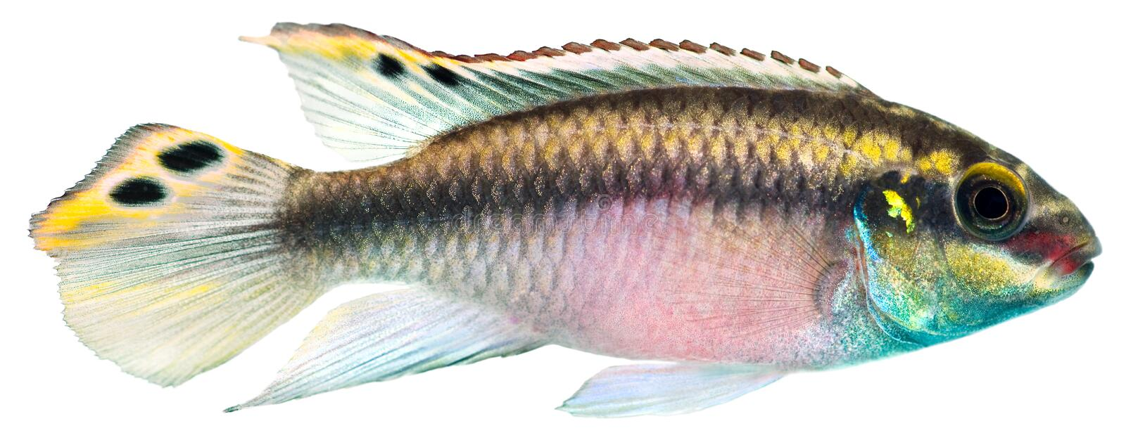 Kribensis Cichlid fish stock photo