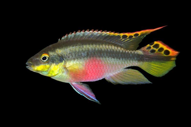 Kribensis (Cichlid roxo) foto de stock royalty free