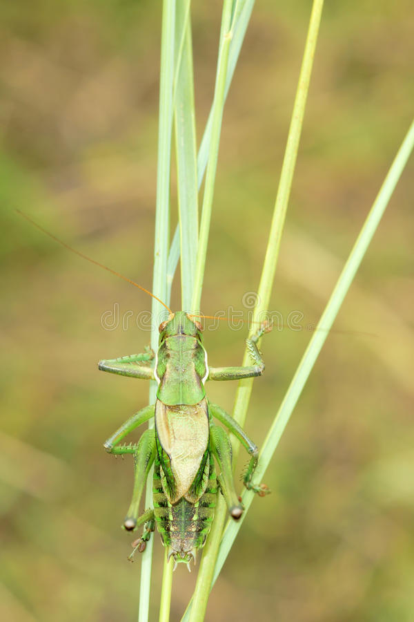 kricket stockfotografie