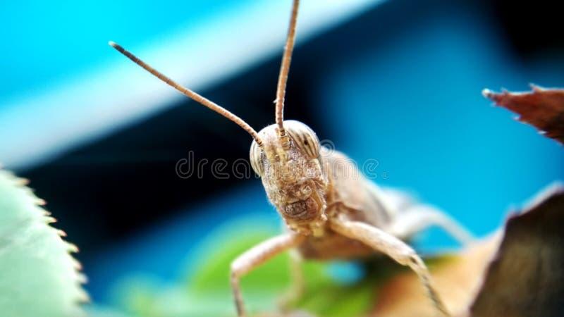 Download Kricket auf Blatt stockbild. Bild von insekt, makro, kricket - 96933523
