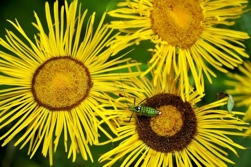 Krickettier auf sonnigen Blumen stockfotografie