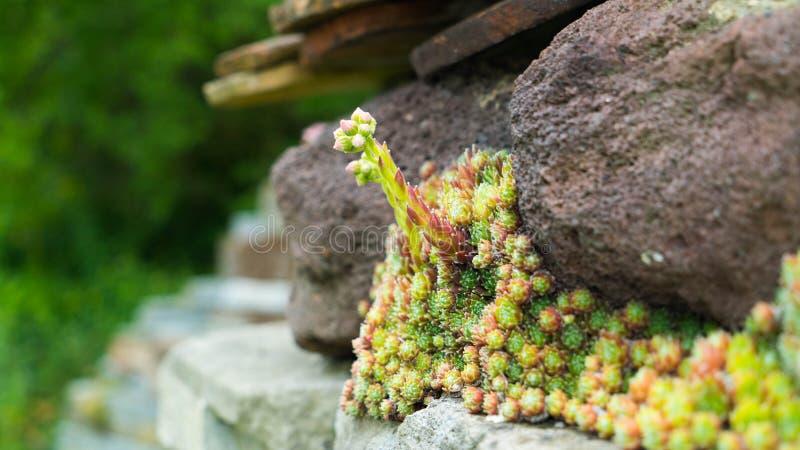 Kriechenblumen wachsen auf Steinen lizenzfreies stockfoto