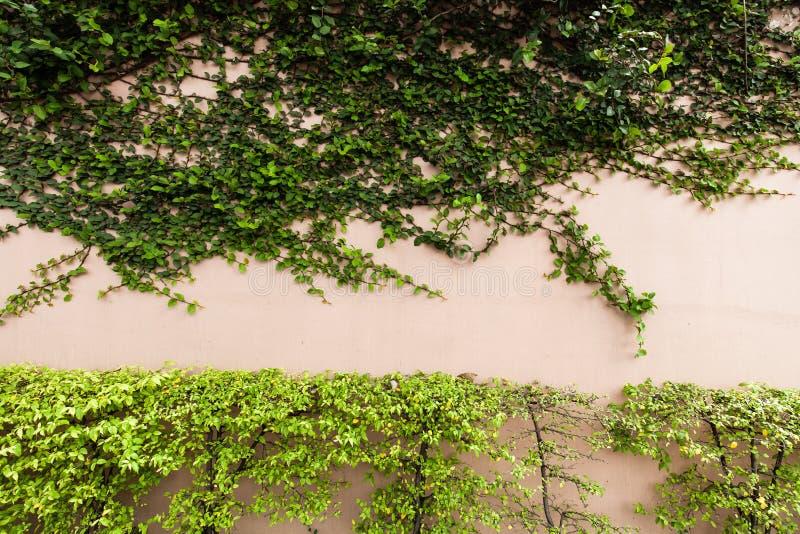 Download Kriechpflanze auf der Wand stockbild. Bild von feucht - 96927799