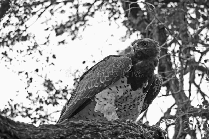 Kriegs-Eagle Bellicosus-polemaetus lizenzfreie stockfotos